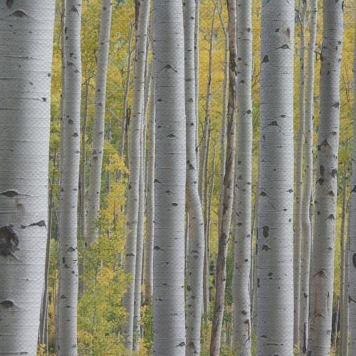 Tafelkleed Berkenbomen