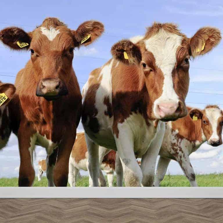 Fotobehang Hollandse koeien