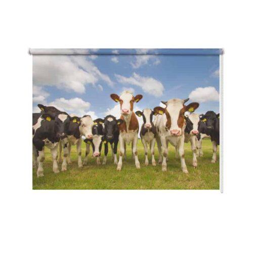 rolgordijn koeien in de wei