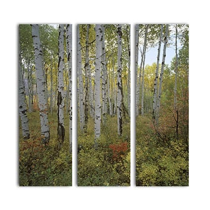 3 luik canvas Berkenbomen