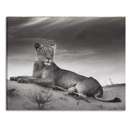 Canvas Leeuwin in zwartwit